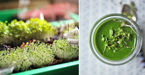 Microgreens und Sprossen für Smoothies und Säfte züchten