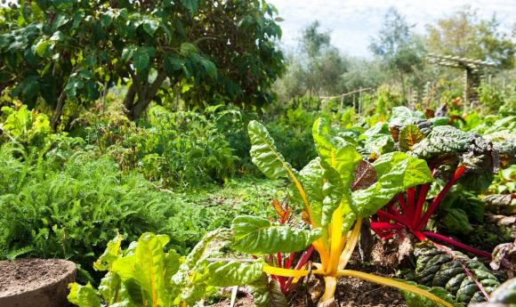 Garten mit Mangold, Salaten und Spinat